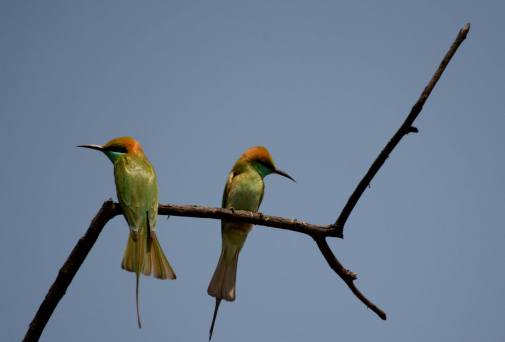 Green Bee-eaters after a tiff.