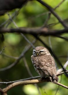 A sleepy Spotted Owlet