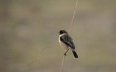 Male Siberian Stonechat - back view