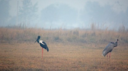 Just as the sun went down, i captured two of my vavourite birds in one frame. Black necked stork (L) and Sarus Crane (A juvenile, R)