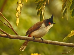 Res whiskered bulbul
