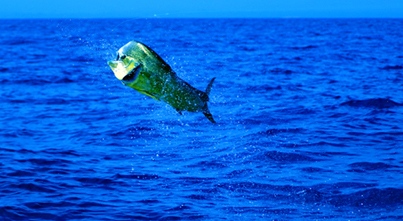 Beyond Our Shores Dolphinfish Research Program