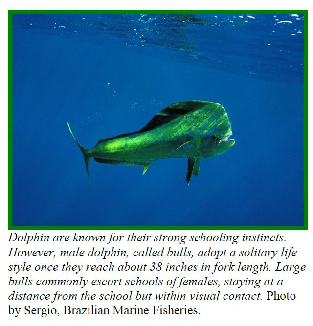 bull dolphinfish dolphinfish research program