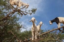 Argon Tree Goats