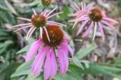Echinacea also