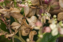 Dried and Withered Hydrangea