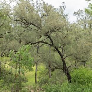 River Oak