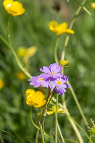 Buttercups and Phlox ? maybe.