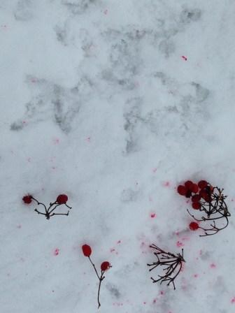 Grouse feeding on High Bush Cranberries