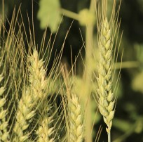 agricultural agriculture barley close up