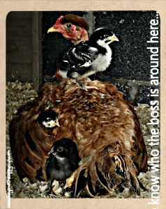 Backyard Homesteading and the Chicken Saga, Episode 3