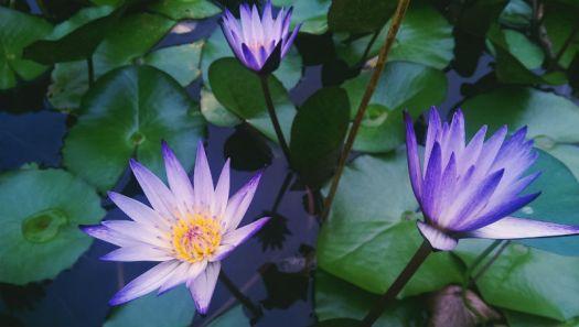 Lotus_Flower_Purple 800