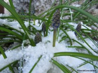 Bluebells emerge from the snow
