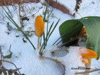 Crocuses stand out in the snow