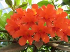 rhododendron polyanthemum