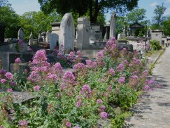 Self-sown red valerian in Père Lachaise cemetery, June 2015