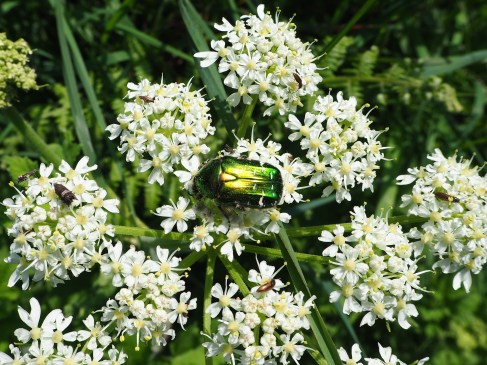 Rose chafer on hogweed, Belle Isle.