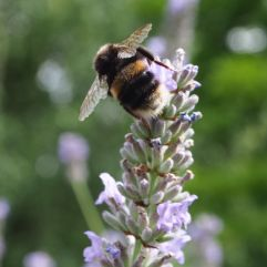 Garden bumblebee ready for take off. The wings look too small to support such a portly bee.