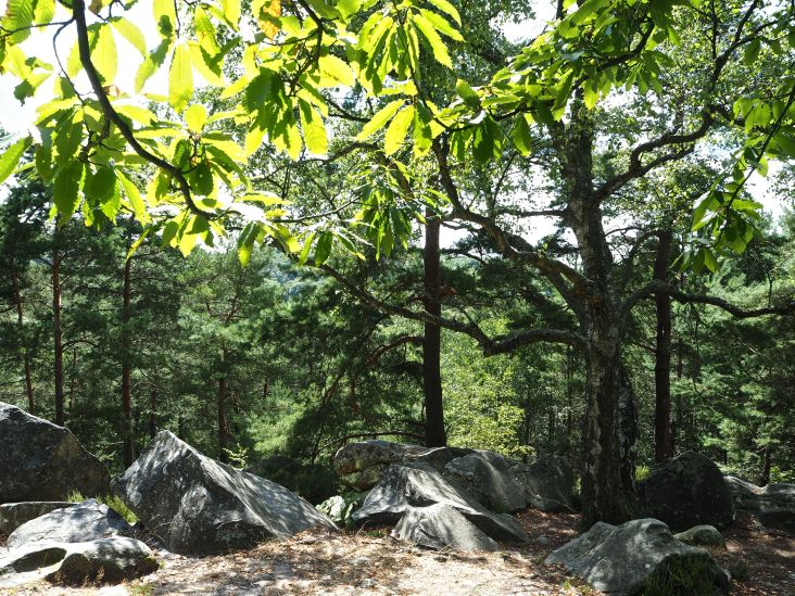 Sunlit chestnut leaves, a venerable birch tree and pines on a rocky slope