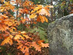 North American red oaks, established in a small part of the forest, add flamboyant autumn colour