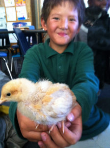 chickens_chicks_dominic_goldie_hands_edited
