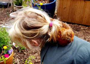 chickens_chicks_week4_addie_copper_back_630x451