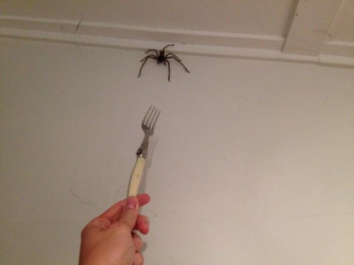 pavúky v Austrálii