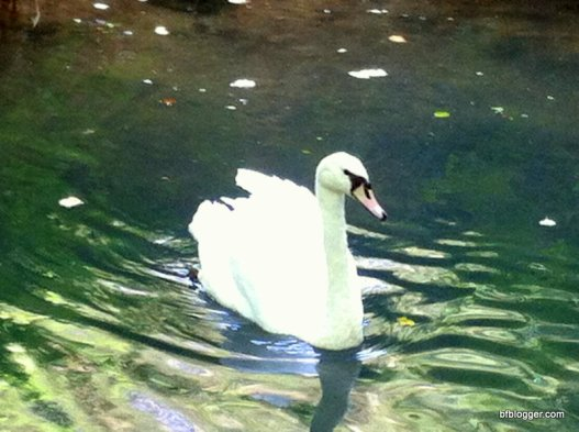 Swans of Uzes