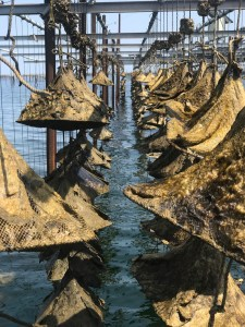 The Oyster World of Tarbouriechh