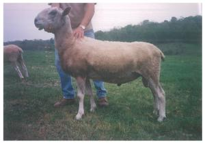 Blacklock River John BFL yearling ram