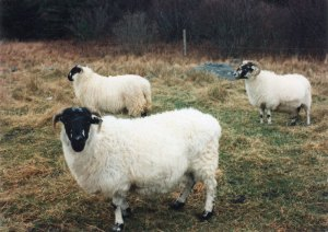 Anne Priest's Scottish Blackface sheep