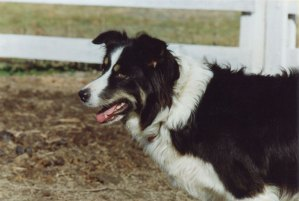 Anne Priest's Border Collie Nell