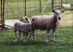 Anne Priest's Bluefaced Leicester ewe