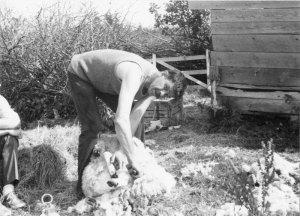 Brian Nettleton shearing on Blue Island