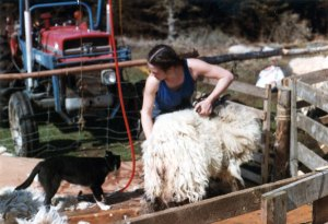 Fiona Nettleton shearing sheep