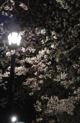千鳥之淵綠道上夜櫻2