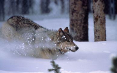 WolfRunningInSnow
