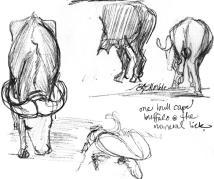 Cape buffalo_1_clean-ish_cr_rs
