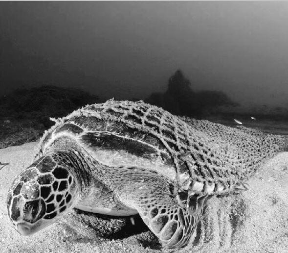 Sea turtle caught in fishign net, Photo Cred: @WDLK Instagram