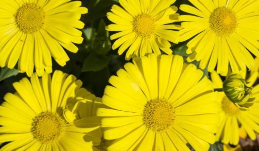 Gämswurz – strahlend gelb und schön