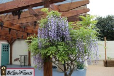 Lastly, they've added some Wisteria on the corner to fill things in a bit. Wisteria seems to be a favorite of the park this year and I certainly see why