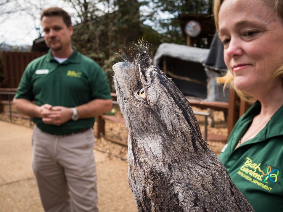 Tim & Kendell Showing Off Busch Gardens Williamsburg's Beautiful New Australian Tawny Frogmouth