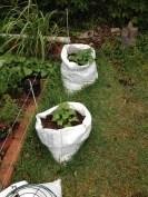 Using salt bags as grow bags.