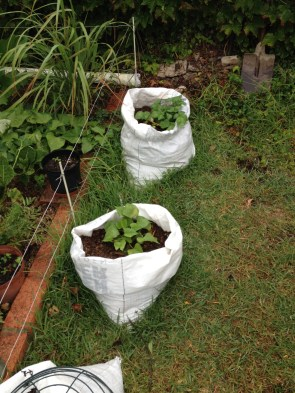 Using salt bags as grow bags.