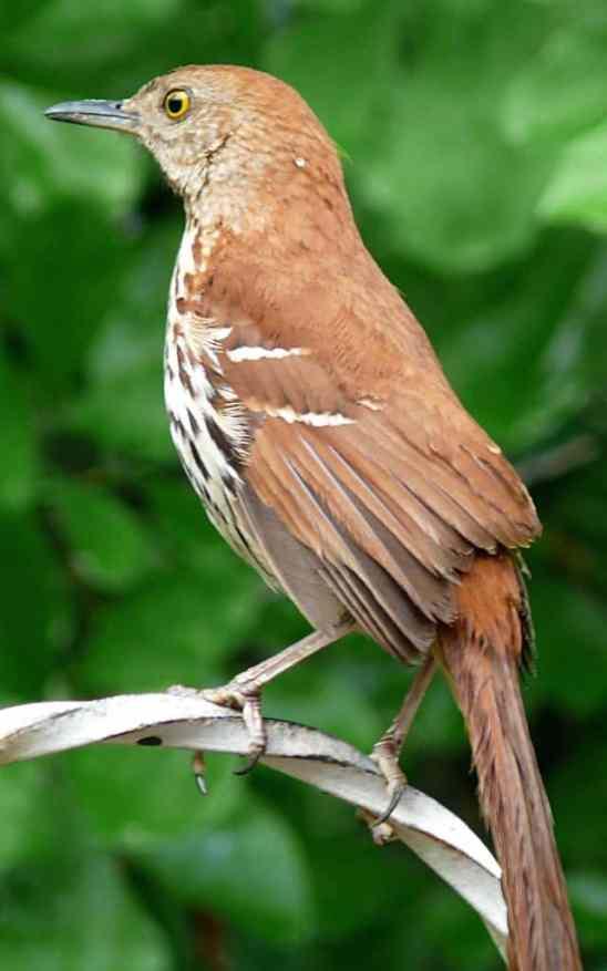 brown_thrasher-27527-2