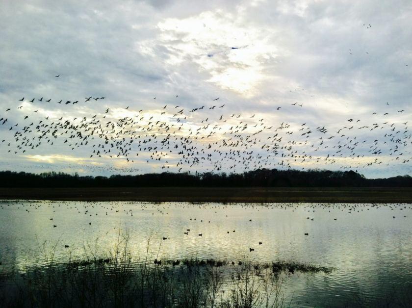 Thousands of sandhill cranes at the Wheeler National Wildlife Refuge