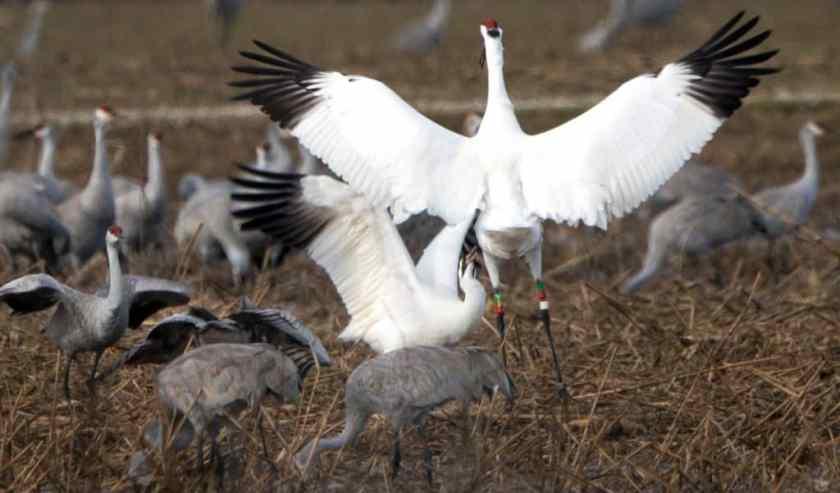 """Whooping crane at play"" - Wheeler National Wildlife Refuge. Photo by: George Lee"
