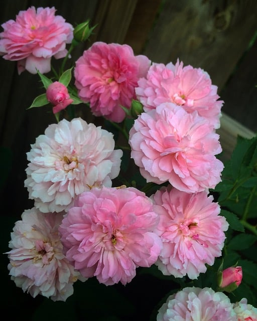Birmingham Rosarian on Rose Selection and Plant Care