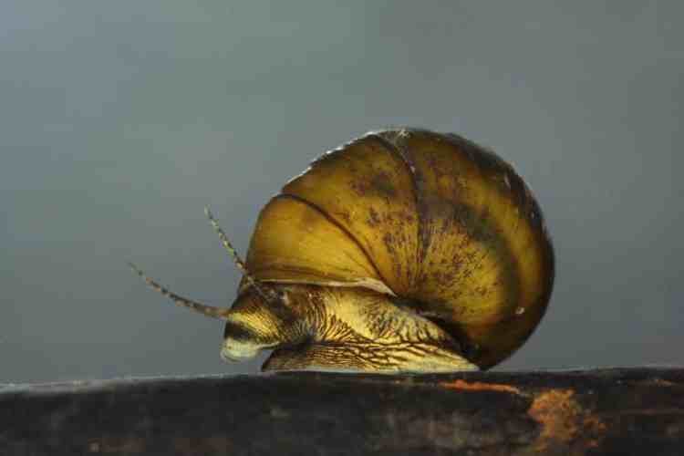 Snails Alabama