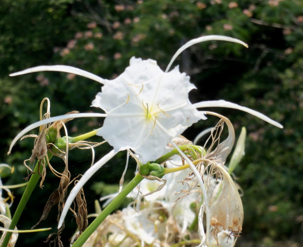 "Bham Now's Nature Roundup – ""Cahaba lily"" edition – June 2nd"